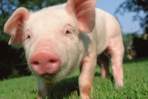 母猪生18只崽主人陪产3天不敢离