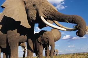大象的左耳朵像什么