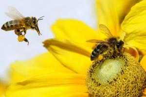 蜜蜂的生活习性