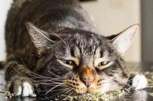 猫薄荷对猫有什么作用