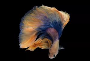 孔雀鱼怎么养