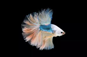 孔雀鱼的繁殖
